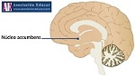 nucleo accumbens